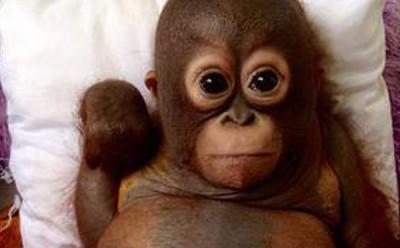 В зоопарке выбрали кличку для маленького орангутана