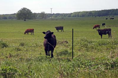 Калининградская область –  лидер России по росту поголовья скота